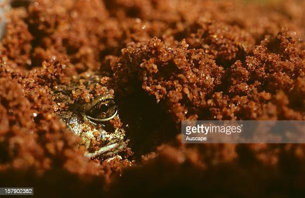 Spencers burrowing frog emerging from moist earth Palmer River Central Australia