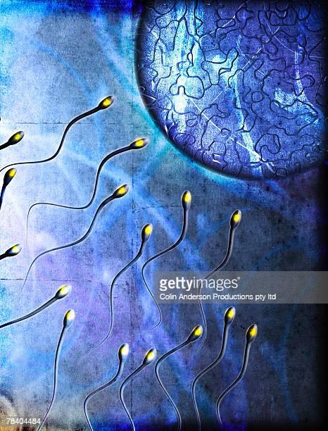 Sperm fertilizing egg