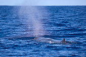 Sperm whale exhaling showing its characteristic single left blowhole, the Azores, Atlantic Ocean