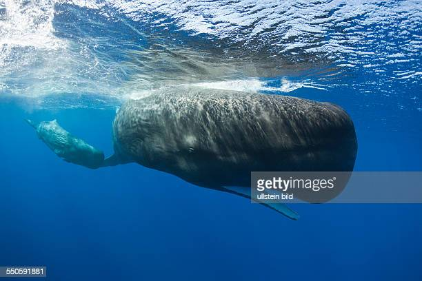Sperm Whale Mother and Calf Physeter macrocephalus Caribbean Sea Dominica