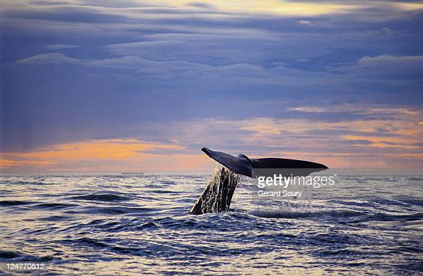sperm whale, physeter catodon, raising flukes, south island, new zealand