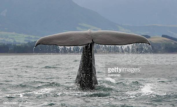マッコウクジラの画像 p1_28