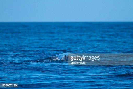 Sperm whale-Physeter macrocephalus : Stock Photo