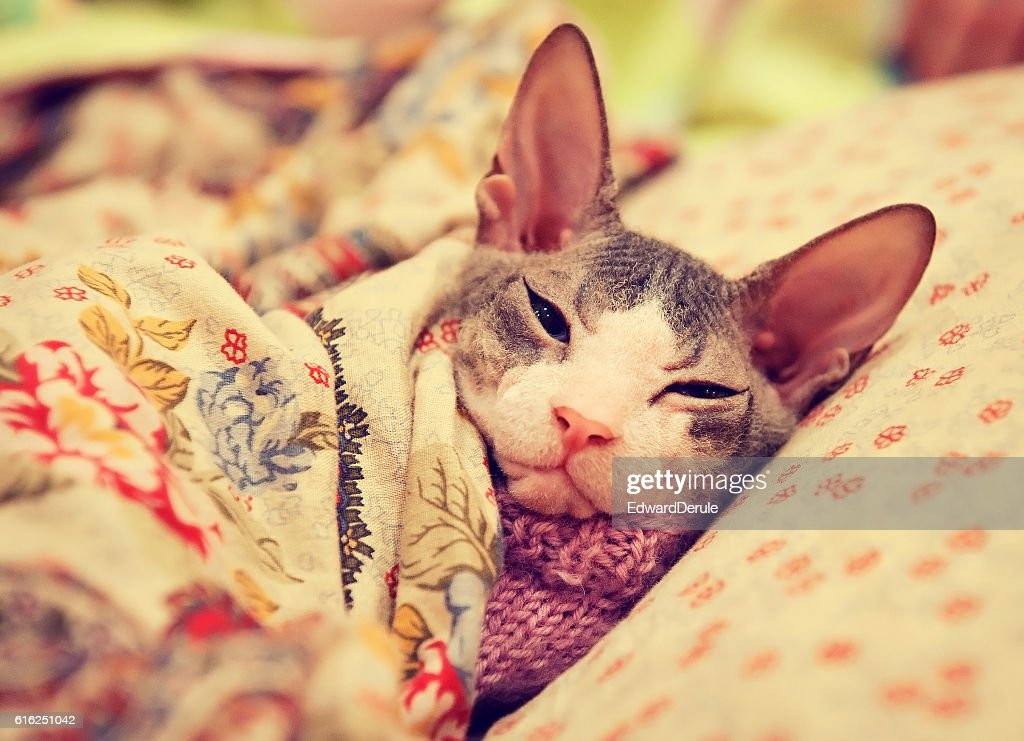 Sphinx breed cat lays on the pillow. : Stock Photo