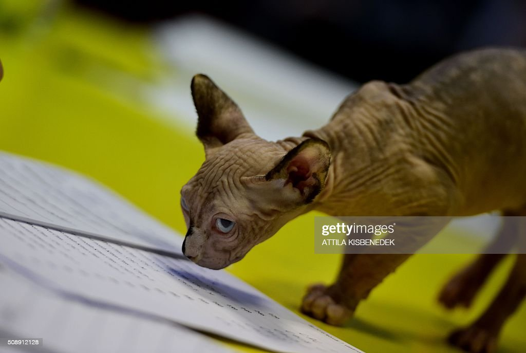 A Sphinx cat steps on the jury's table in Lurdy House in Budapest on February 7, 2016, during a two-day international cat exhibition and fair in the Hungarian capital. / AFP / ATTILA KISBENEDEK