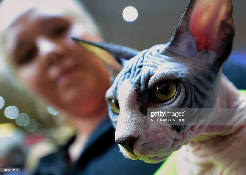 A Sphinx cat waits for the jury's verdict with its owner in Lurdy House in Budapest on February 7, 2016, during a two-day international cat exhibition and fair in the Hungarian capital. / AFP / ATTILA KISBENEDEK