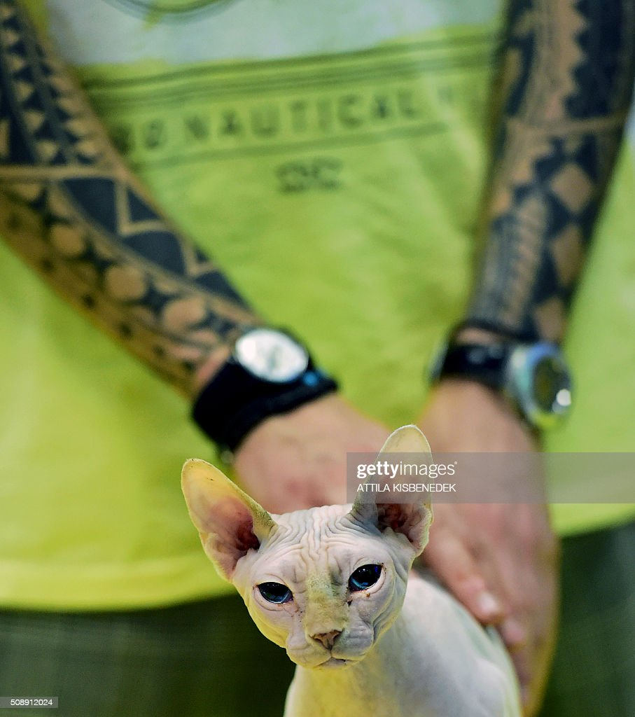A Sphinx-breed cat waits for the jury's verdict with its owner in Lurdy House in Budapest on February 7, 2016, during a two-day international cat exhibition and fair in the Hungarian capital. / AFP / ATTILA KISBENEDEK