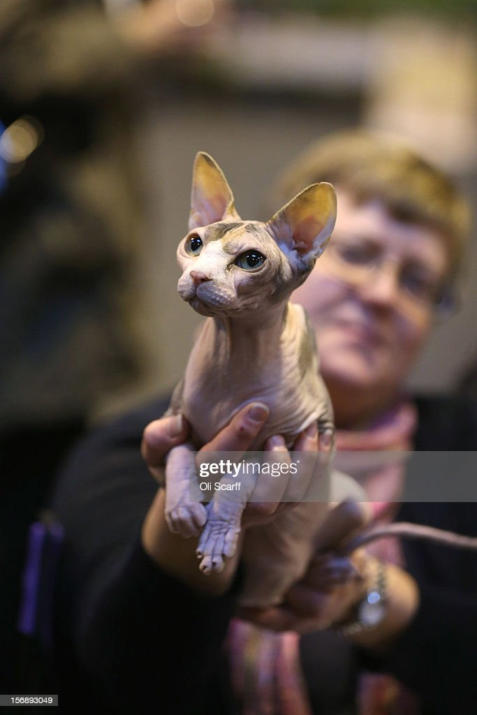 A sphynx cat is held by its owner at the Governing Council of the Cat Fancy's 'Supreme Championship Cat Show' held in the NEC on November 24, 2012 in Birmingham, England. The one-day Supreme Cat Show is one of the largest cat fancy competitions in Europe with over one thousand cats being exhibited. Exhibitors aim to have their cat named as the show's 'Supreme Exhibit' from the winners of the individual categories of: Persian, Semi-Longhair, British, Foreign, Burmese, Oriental, Siamese.