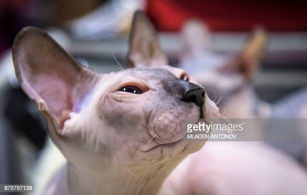 A Sphynx cat is seen during the 'Valencia Cup' international cat exhibition in Moscow on November 18 2017 / AFP PHOTO / Mladen ANTONOV