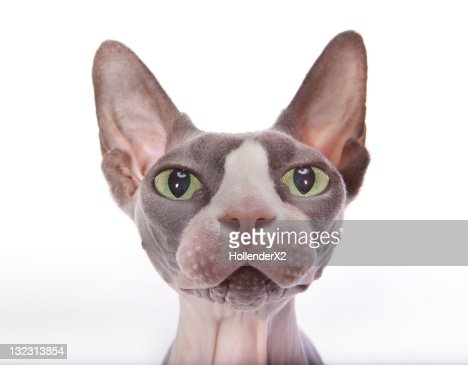 Sphynx Cat : Stock Photo