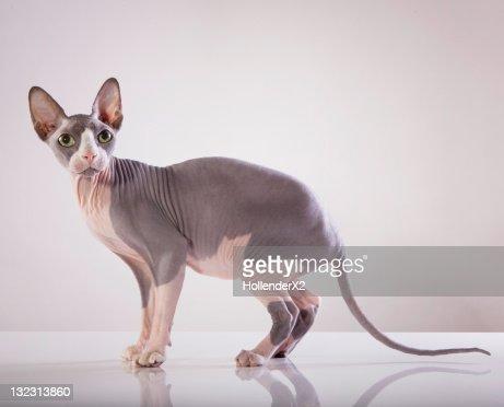 Sphynx Cat : Stock Photo
