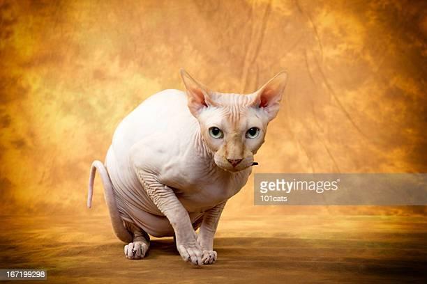 スフィンクスという種類の猫