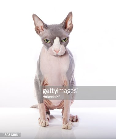 Sphynx Cat with angry expression : Foto stock