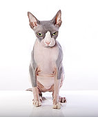 Sphynx Cat with angry expression