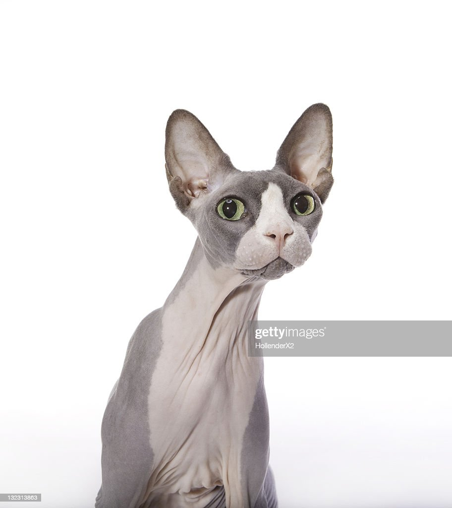 Sphynx Cat with surprised expression