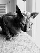 Sphynx Hairless Cat Sitting On Rug By Window