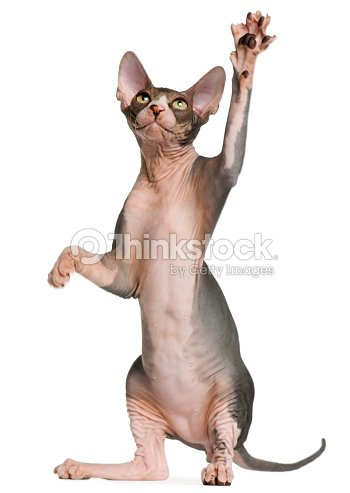 Sphynx Kitten Four Months Old Reaching Up White Background