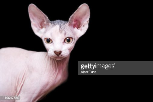sphynx kitten sweet cute hairless pet cat