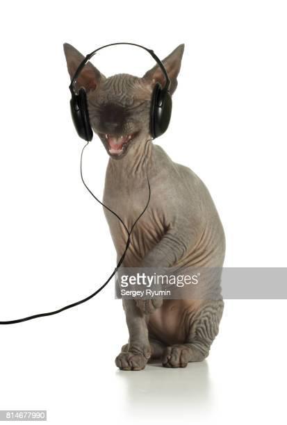 Sphynx kitten with headphones.