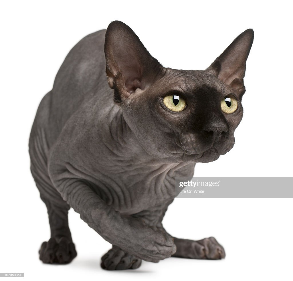Sphynx (11 months old) : Stock Photo