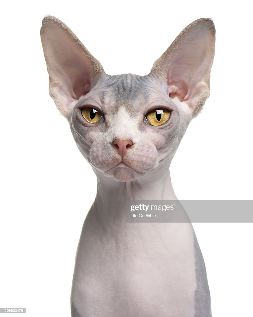 Sphynx (7 months old) : Stock Photo