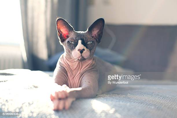 sphynxcat chilling on the couch being lazy with his paws crossed
