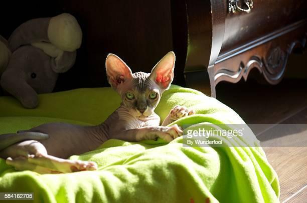 Sphynxcat kitten chilling in the sunlight