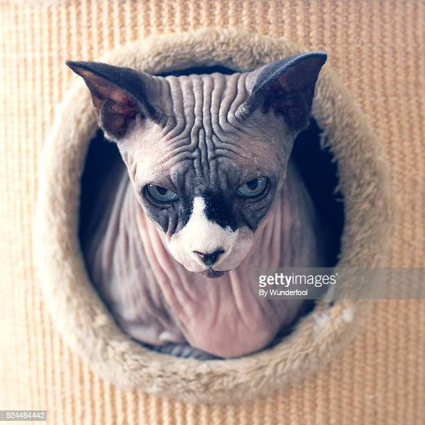 Sphynxcat looking at the camera from a hole in a scratching post