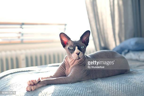 sphynxcat lying on the couch being lazy with paws crossed