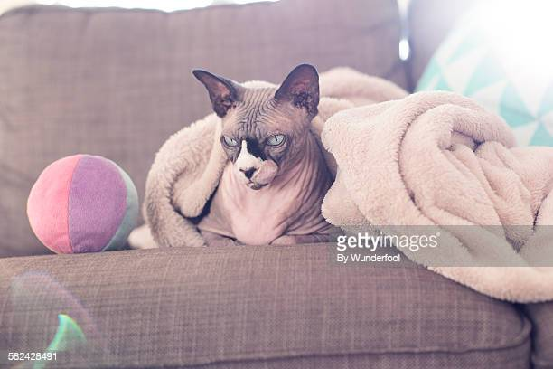 Sphynxcat under a blanket with a colored playball