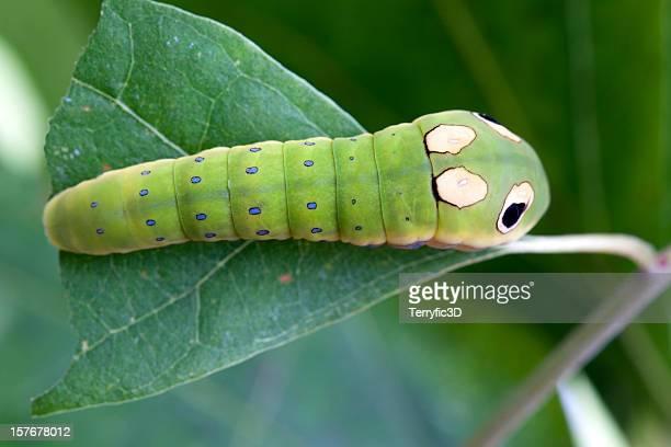 Spicebush Swallowtail Butterfly Caterpillar Larva on Leaf