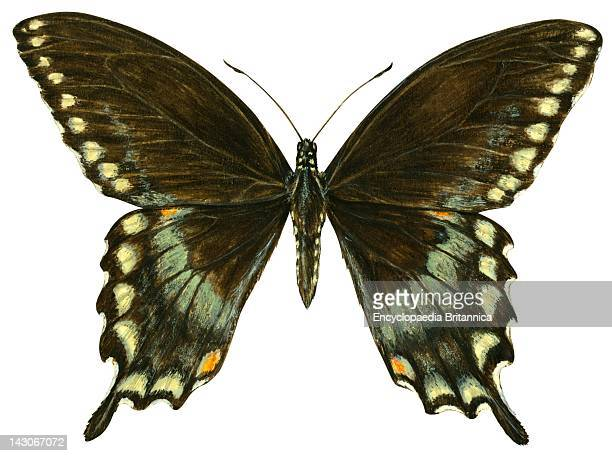 Spicebush Swallowtail Spicebush Swallowtail