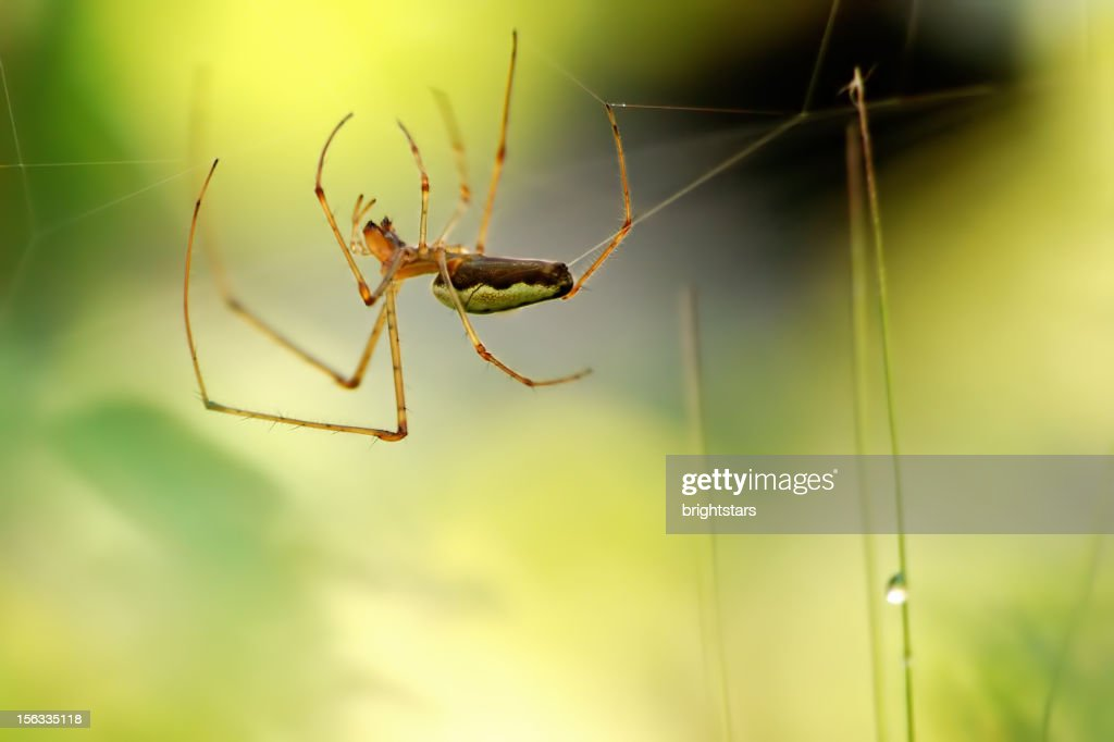 Spider building a web after rain : Stock Photo
