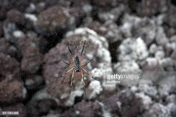 A spider called 'Bibe' or golden orbweb spider is pictured in the 'Grand Brulé' where the last lava flow occured in 2007 The 'Grand Brûlé' is...