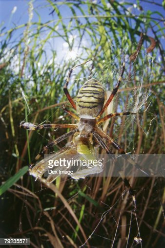 Spider consuming grasshopper, close-up : Stock Photo