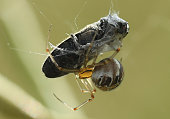 A spider ensnares an insect as prey in a field on June 17 2014 near Wernitz Germany