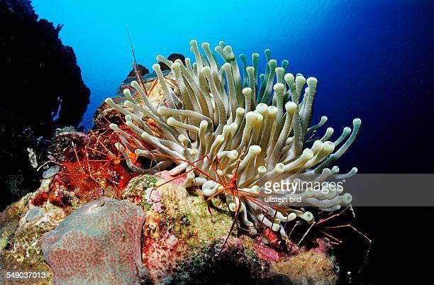 Spider hermit crabs in anemone Stenorhynchus seticornis Netherlands Antilles Bonaire Caribbean Sea