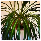 Spider plant in hanging container.  iPhone
