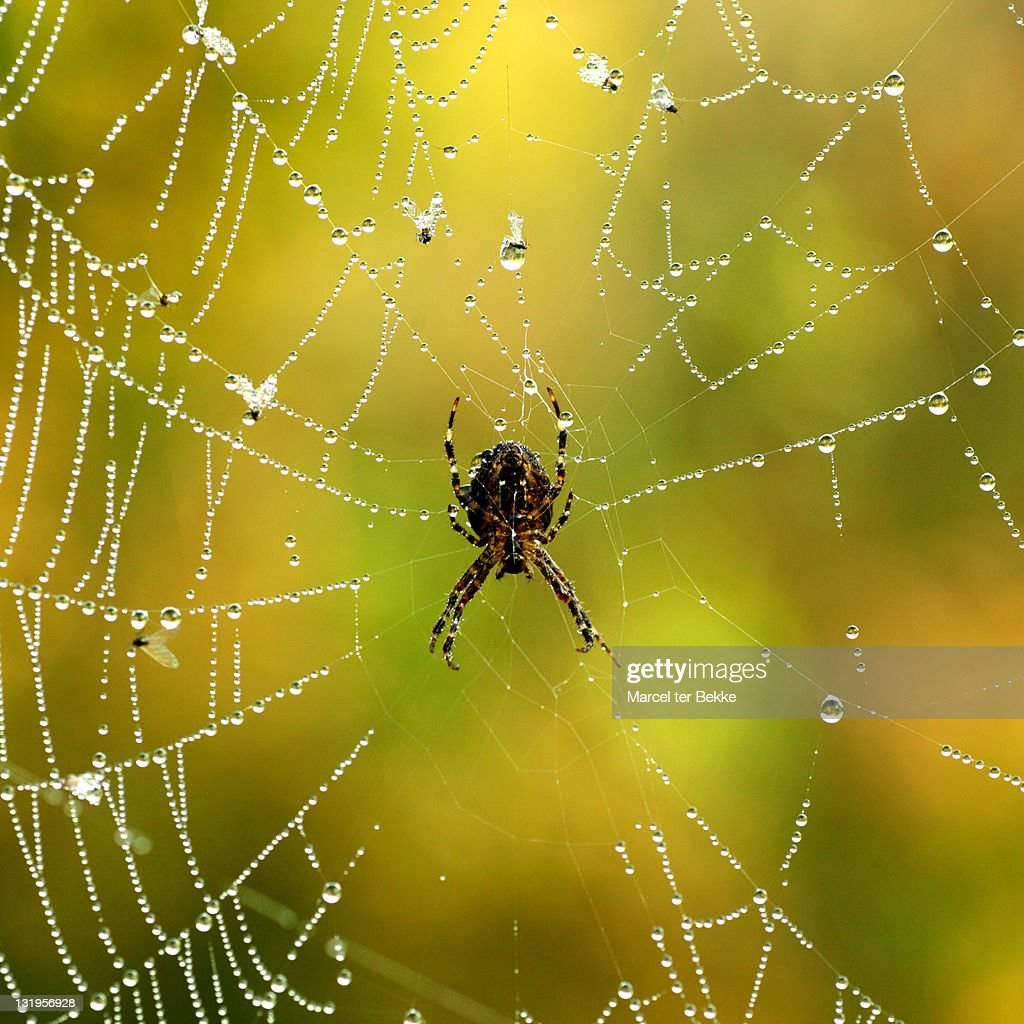 Spider in web : Stock Photo