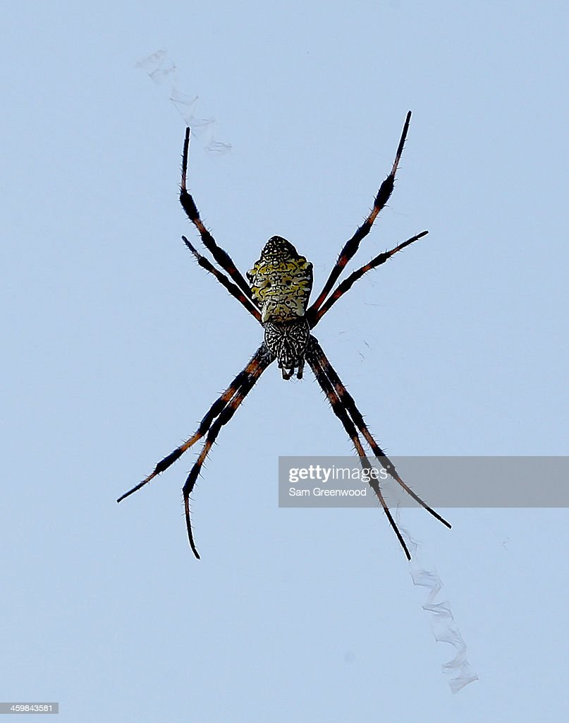 A spider is seen during a practice round prior to the Hyundai Tournament of Champions at the Plantation Course at Kapalua Golf Club on December 31...