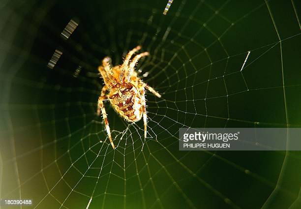 A spider is seen in its web on September 12 2013 in Godewaersvelde northern France AFP PHOTO / PHILIPPE HUGUEN
