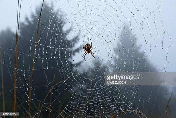 A spider is seen in its web on September 16 2014 in Hohen Meissner Germany AFP PHOTO / DPA / UWE ZUCCHI /GERMANY OUT