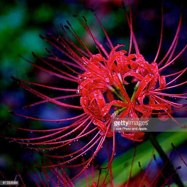 Spider lily, Cluster amaryllis