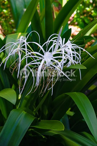 Spider lily white tropical flower ornamental variegated hymenocallis spider lily white tropical flower ornamental variegated hymenocallis caribaea stock photo mightylinksfo