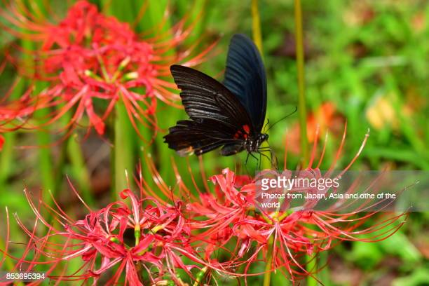 Spider Lily/Autumn Equinox Flower and Butterfly