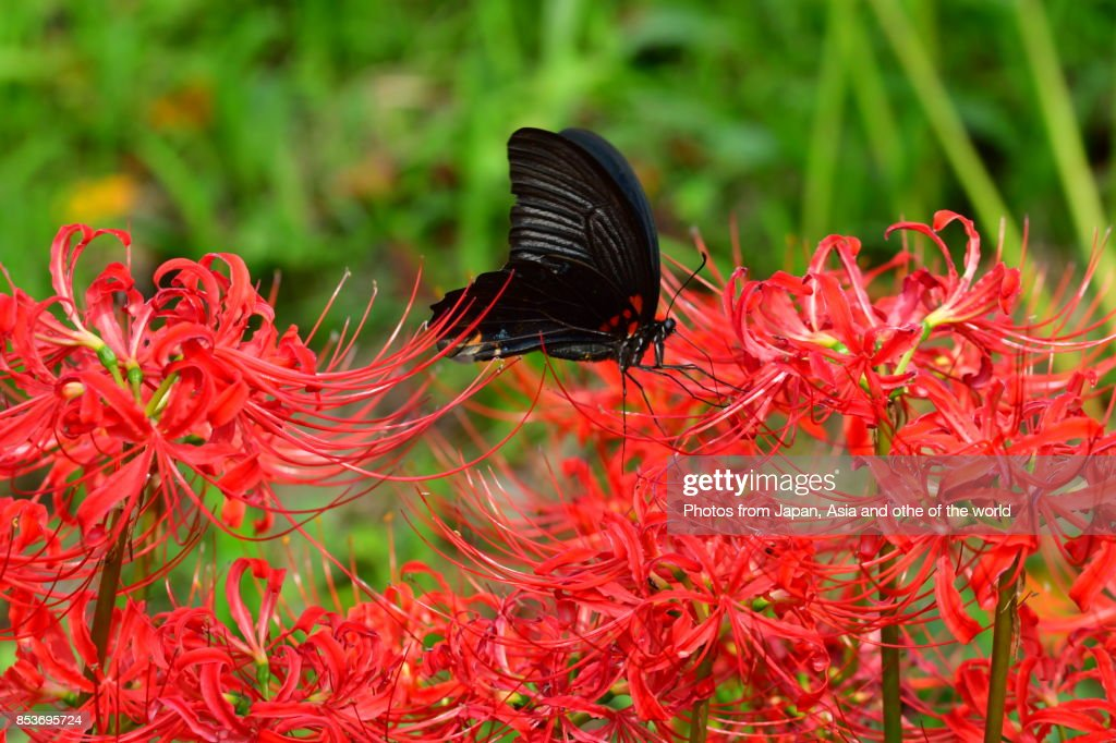 Spider lily, also called Hurricane lily and Surprise lily, is a perennial bulb that blooms in September. Spider lily is called Autumn Equinox Flower in Japan, because it normally blooms around the Autumn Equinox. The butterfly in this photo is called Japanese swallowtail butterfly.