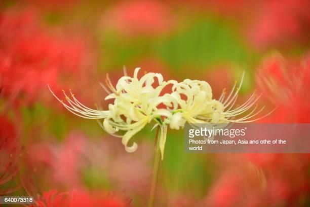 Spider Lily/Autumn Equinox Flower