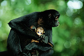 Spider Monkey and Infant (Ateles Paniscus)