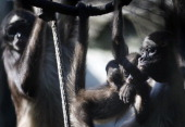 Spider Monkey and its fivemonth old baby are seen at the Santa Fe zoo in Medellin Antioquia department Colombia on October 29 2012 AFP PHOTO/Raul...