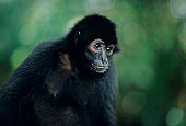 Spider monkey (Ateles paniscus), close-up